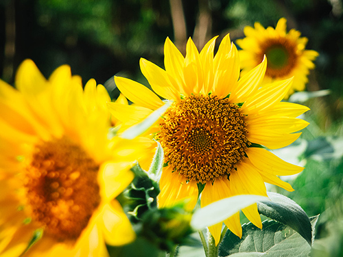 Bild von Sonnenblumenfeld
